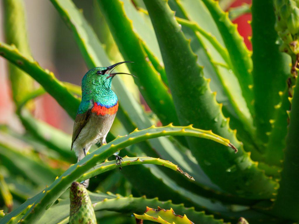 Aloes cudowna roślina