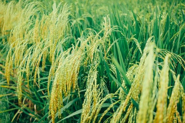 ryż dziki
